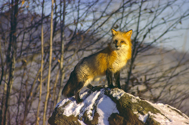 This is one beautiful fox.