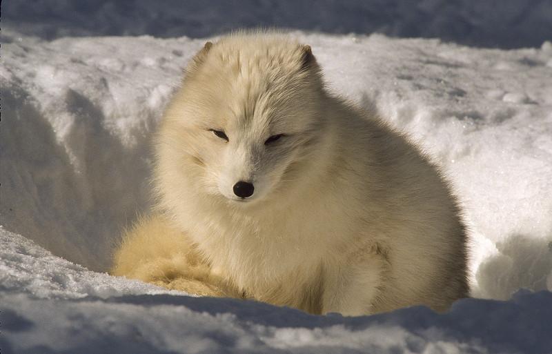 A beautiful arctic fox having a noon nap.
