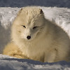 A beautiful arctic fox having a noon nap.