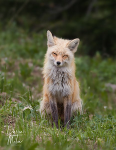 """""""Sleepy Fox"""""""