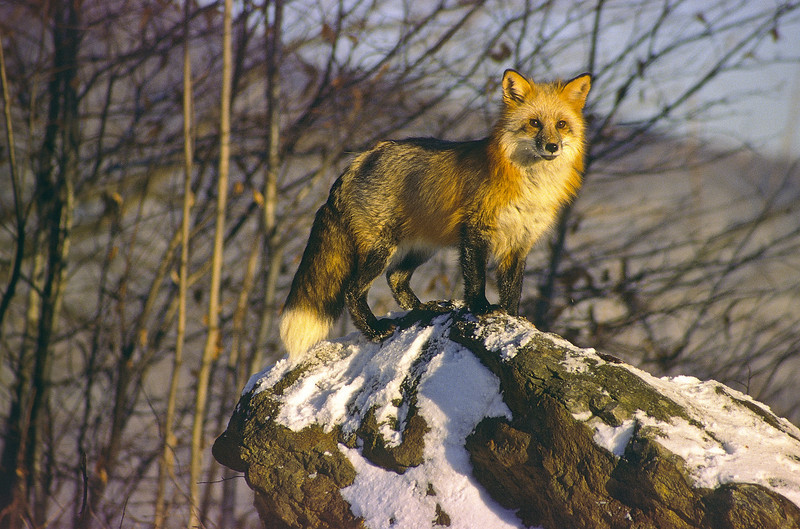 On a chilly evening this red fox jumped up on the rock to have a look around.  The setting sun hits him in the face.