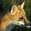 It is difficult to get a red fox to sit still.  They are continually moving about their habitat.