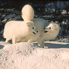 These two buddies were having fun playing near their den.  They run out, then back, then bite each other.  Arctic Fox are know by several names, White Fox, Polar Fox, and Snow Fox.