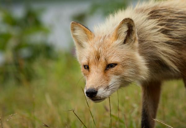 Fox Portrait- Frazer Lake