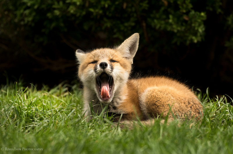 Yawn! Red Fox Kit