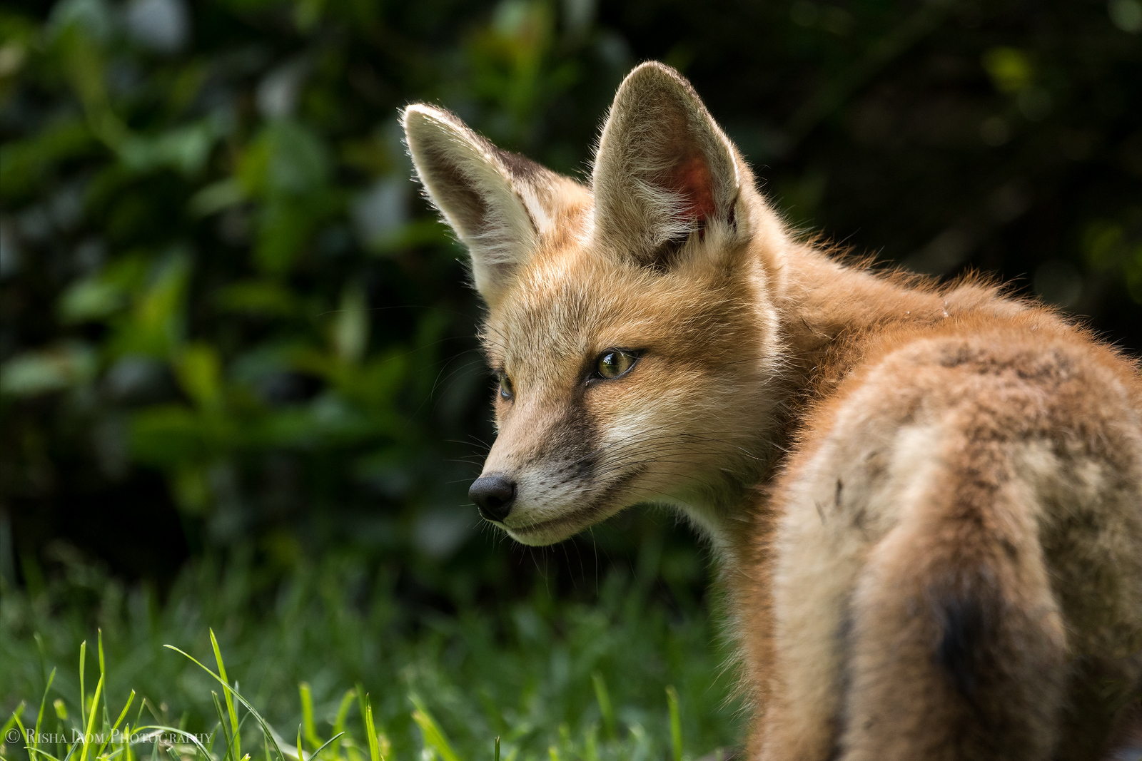 Red fox kit profile.
