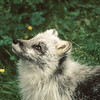 This lovely arctic fox is changing from her white winter coat to a dark brown for summer.  This protects her from prey all year.