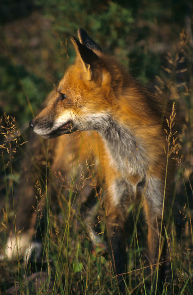 A very nice image of a red fox hunting at sunset.