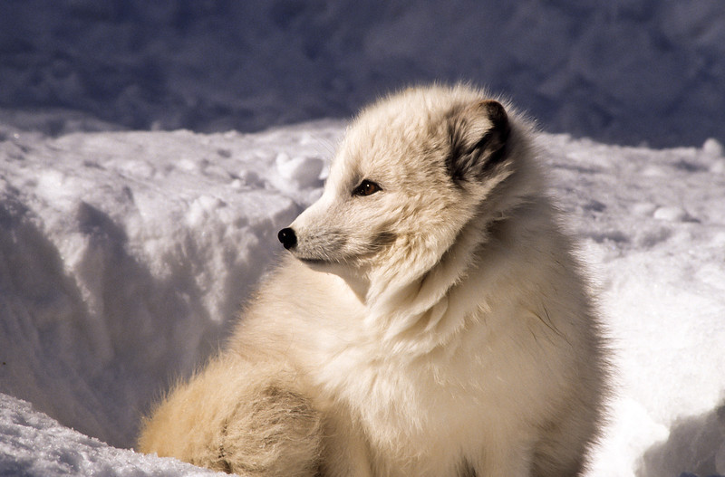 The arctic fox has a thick coat for sub-zero temperatures.  Mother Nature has been kind.  During the winter months they are white but in summer, the fur changes to a shade of brown.