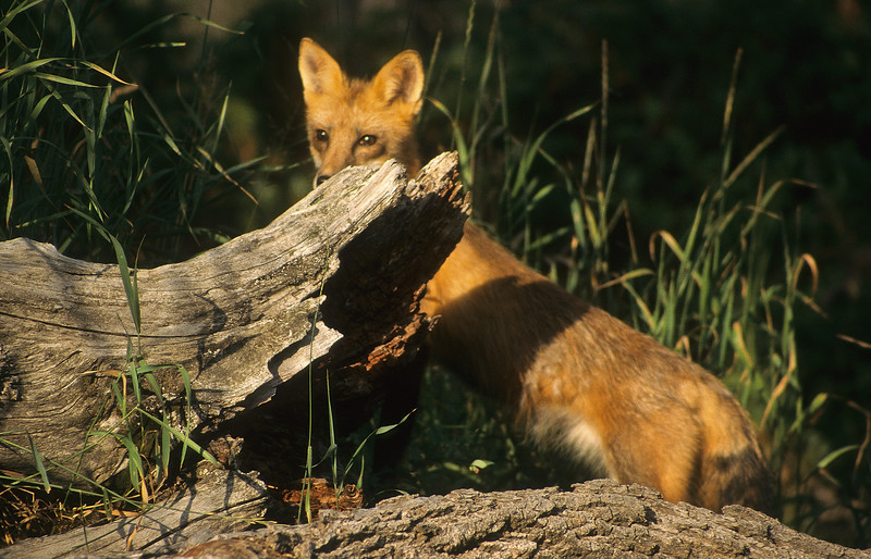 The fox will normally eat rodents, but also game birds and reptiles.  They are sociall animals who tend to live in small family groups.
