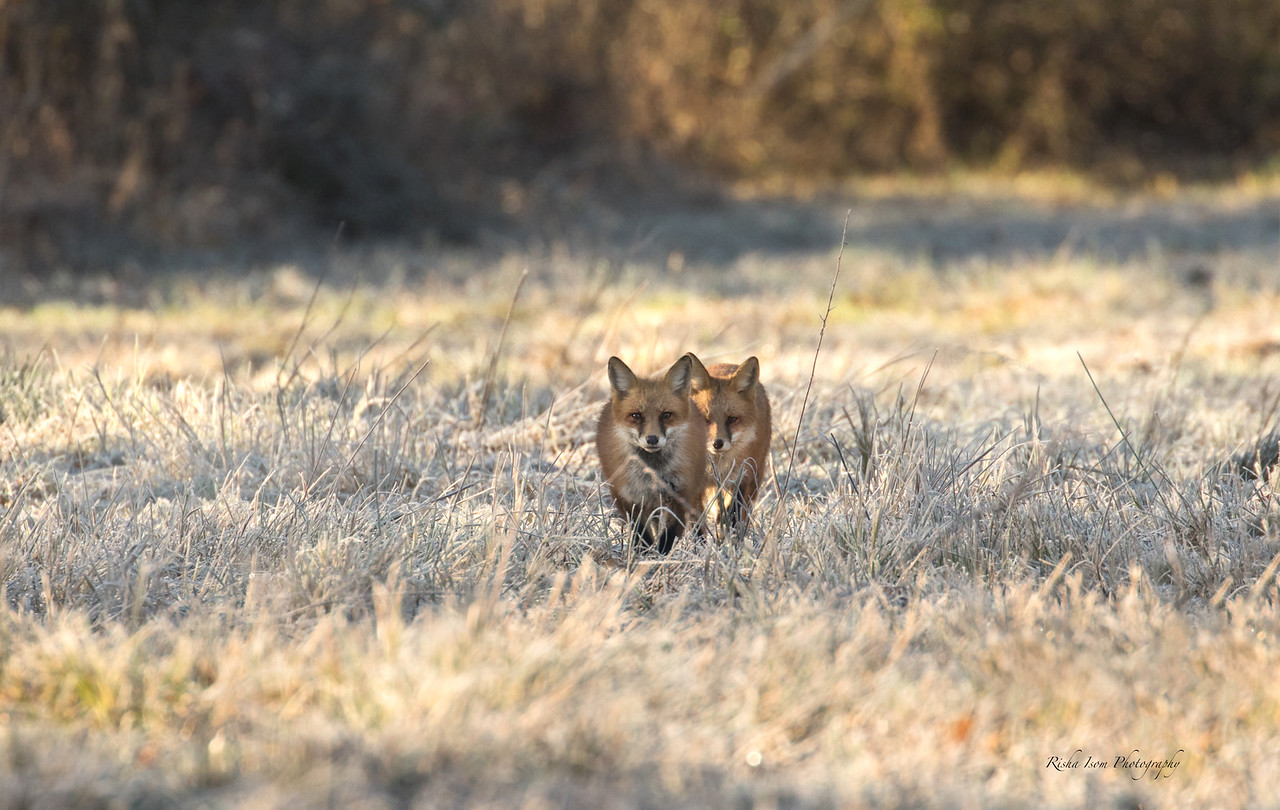 Mated red fox pair