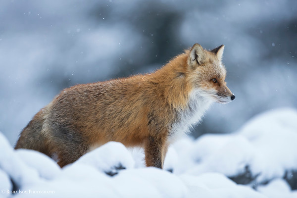 Red Fox Contrast