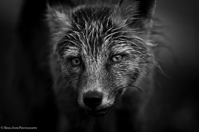 B&W Fox Portrait