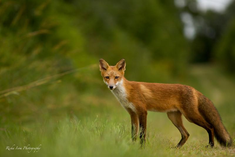 Male Fox