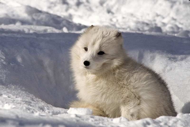 A timid arctic fox, never venturing from his den.  He was happy to catch a few rays of warm sun.  They have exceptional hearing and are able to find small prey hidden under the snow.