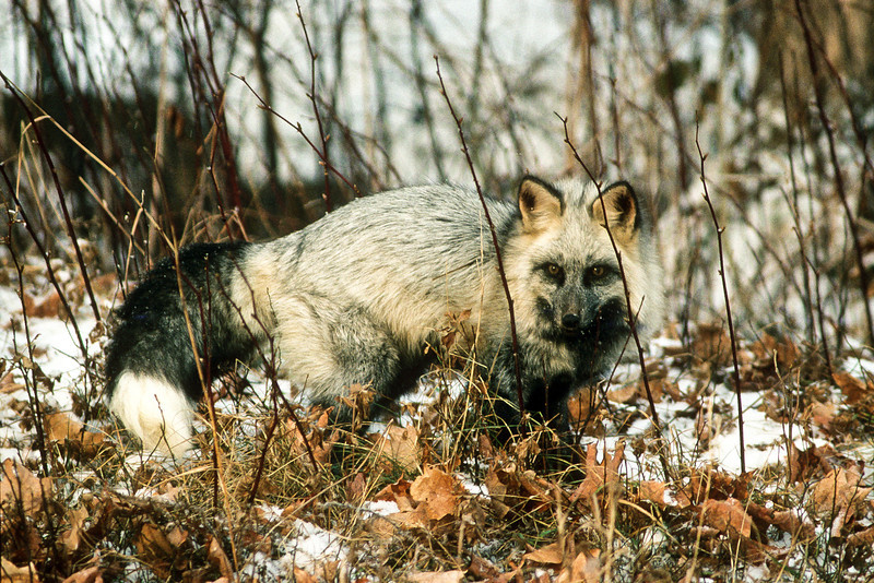 On the hunt.  A cross fox is a color variation with white-silver and black fur.  They are very beautiful and blends well in the snow.