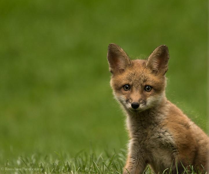 So sweet. Red Fox Kit