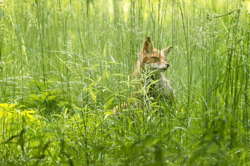 Old female Red Fox hiding in the grass.