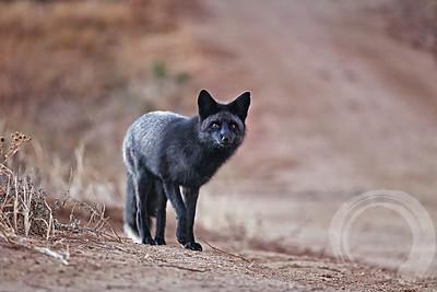 Black fox 5