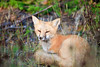 Resting Red Fox<br /> <br /> Hat Point<br /> Grand Portage, Minnesota<br /> (5II-03484)