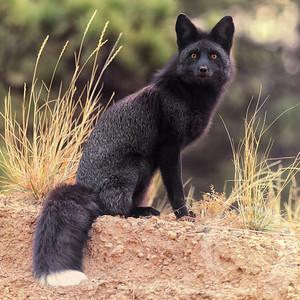 Black Fox 2