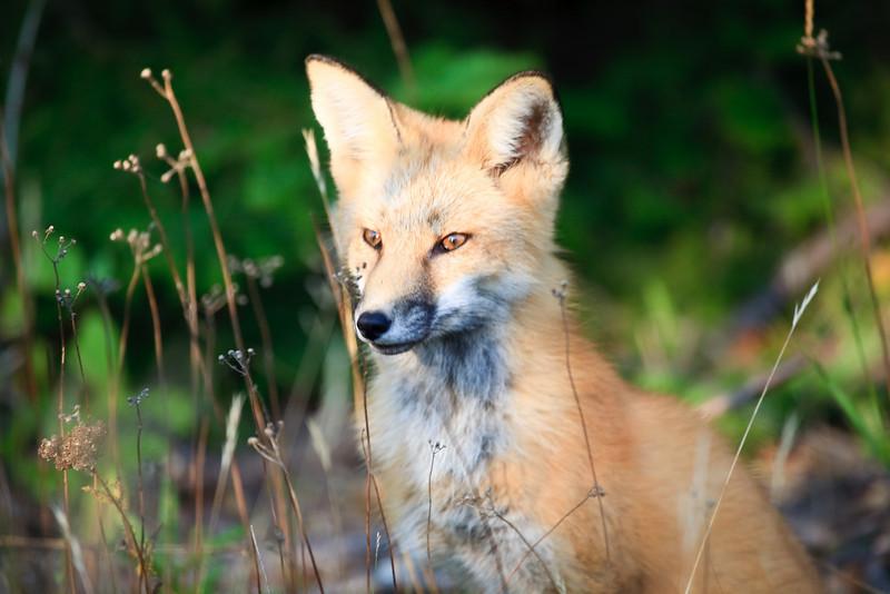Red Fox<br /> <br /> Hat Point<br /> Grand Portage, Minnesota<br /> (5II-03520)