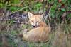 Red Fox<br /> <br /> Hat Point<br /> Grand Portage, Minnesota<br /> (5II-03464)