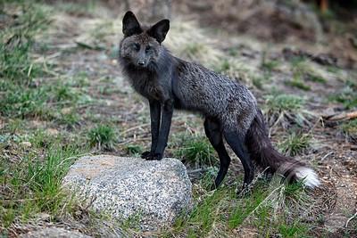 Black fox posing on rock
