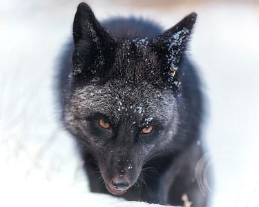 Black fox/white snow, colorized