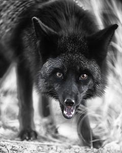 Black fox in B&W
