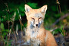 Curious Red Fox<br /> <br /> Hat Point<br /> Grand Portage, Minnesota<br /> (5II-3545)