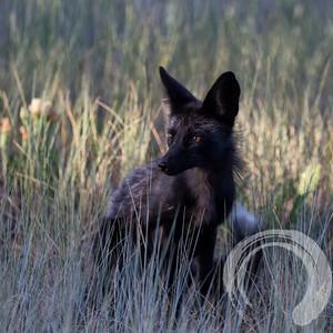 Black fox in the grass