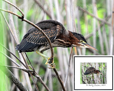 Little Green Heron M13_4166 framed