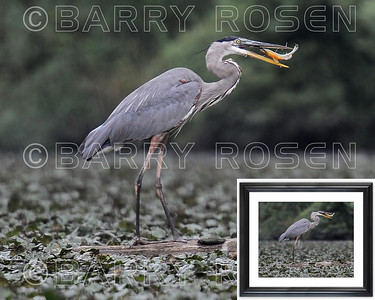 Great Blue with fish M13_3947 framed