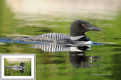 Loon M13_2995 framed