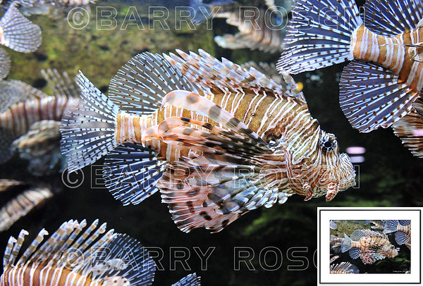Lionfish BSR_2165 framed