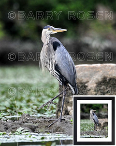 Great Blue Heron BSR_2025 framed