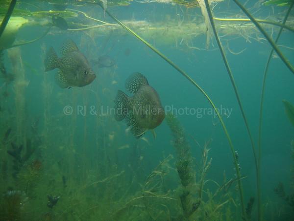 Black Crappie Underwater, Wisconsin