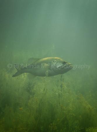 Largemouth Bass, Underwater, North America
