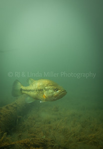 Largemouth Bass, Underwater, North America