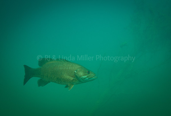 Small Mouth Bass, Underwater, North America