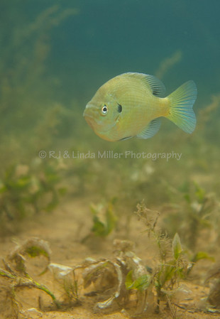 Bluegill Sunfish, Underwater, North America