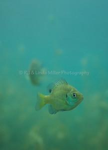 Bluegill Sunfish, Underwater, North America