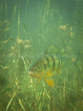 Yellow Perch in Weeds, Underwater, Wisconsin