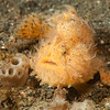 Hairy Frogfish,  Antennarius striatus