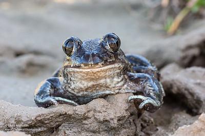 Western Spadefoot Toad, Pelobates cultripes, Algarve, Portugal.