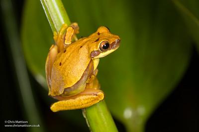 Hourglass treefrog, Hyla ebraccata, form with reduced markings, Osa Peninsula, Costa Rica