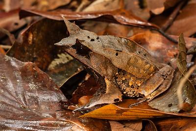 Horned Frog, Megophrys nasuta, Danum Valley, Borneo. Family Megop[hryidae.