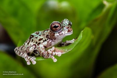 Lancaster's tree frog, Isthmohyla lancasteri, Costa Rica