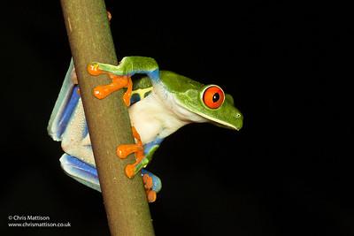 Red-eyed Leaf Frog, or Tree Frog, Agalychnis callidryas, El Arenal, Costa Rica
